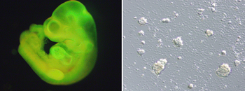 STAP細胞 マウス胎児.png